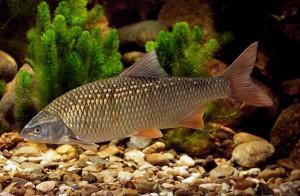 Foto eines Frauennerfling (Rutilus pigus), sonst. Name: Donaunerfling, Frauenfisch, engl: danube roach, Foto: Andreas Hartl