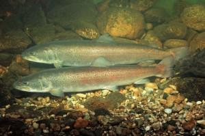 Foto eines Huchenpaares (Hucho hucho), sonst. Name: Donaulachs, engl. Danube salmon, Huchen, Foto: Andreas Hartl