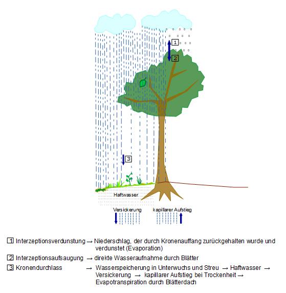 Darstellung des Laubdaches eines Auwaldes und Interzeption als bedeutenden Faktor für den Hochwasserschutz