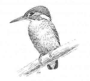 Zeichnung eines Eisvogels