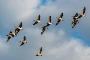grey-geese_101219