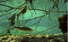 Vortrag Donau-Fischökologie von Johannes Schnell, LFV Bayern