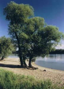 Foto eines Naturbadestrandes mit  Silberweiden