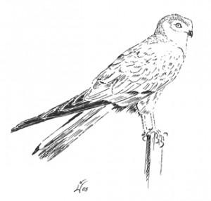 Vogel - Wiesenweihe