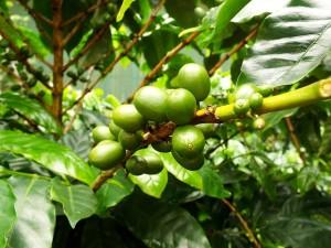 Caffeepflanze