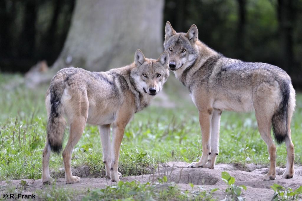 Wölfe stehend im Tierpark Sababurg (2009), Foto: Ralph Frank, http://www.ralphfrank.de