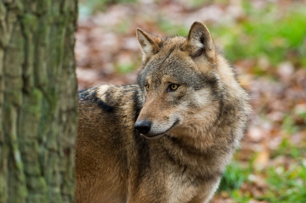 Wolfporträt Foto: (c) Ralph Frank, 2013