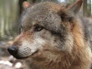 Wolf, Bildquelle: Kenners' Landlust